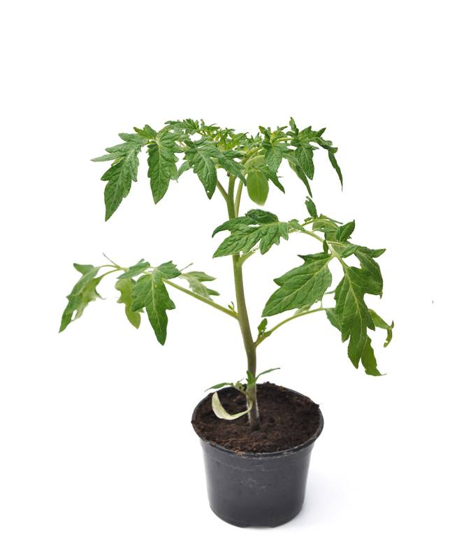 3 plants tomate cerise rouge 39 supersweet 100 39 willemse - Plants de tomates cerises ...