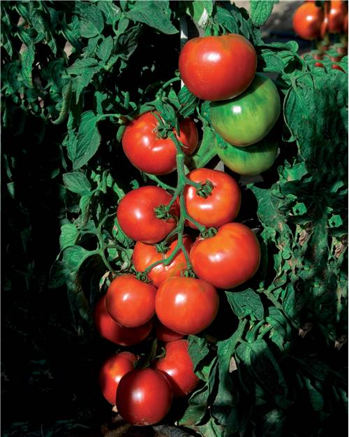 Tomate 'Pyros' HF1 (Obtention Clause)