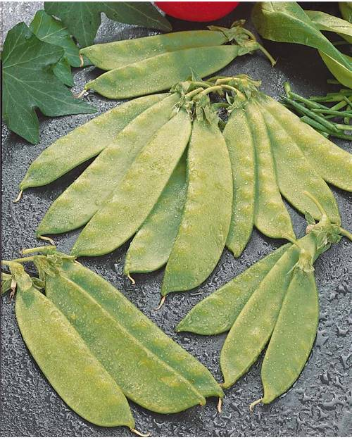 Pois mangetout Oregon Giant