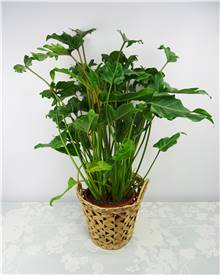 Philodendron Seloum Hope