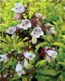 Penstemon Goldfinger