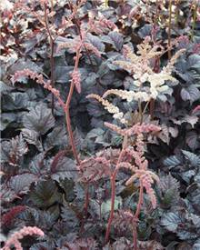 Astilbe hybride Chocolate Shogun