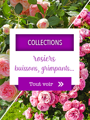 Collections de rosiers