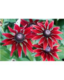 3 Rudbeckias 'Cherry Brandy'