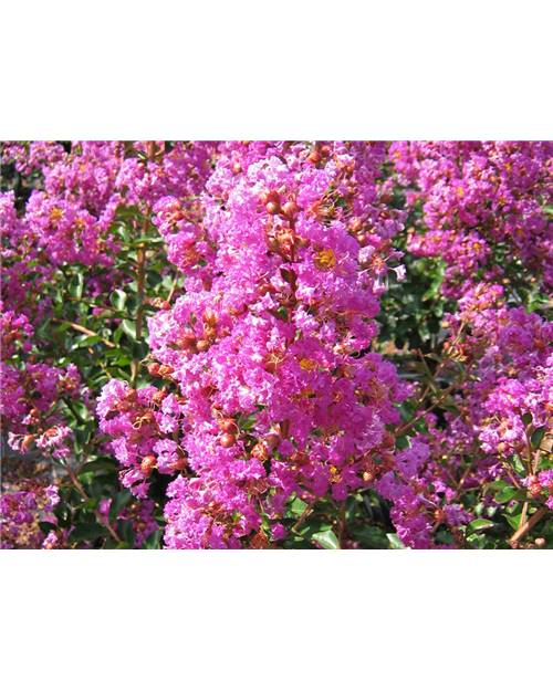 LAGERSTROEMIA Pecharmant