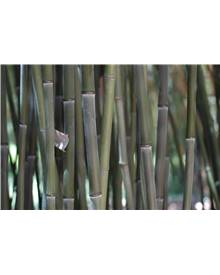 Bambou Phyllostachys bissetii 2X7L