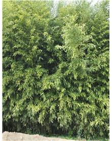 Bambou Phyllostachys bissetii 2X15L