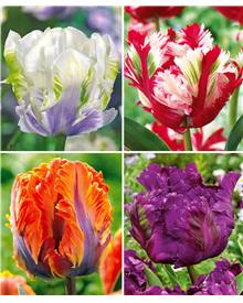 Collection de 24 Tulipes perroquet