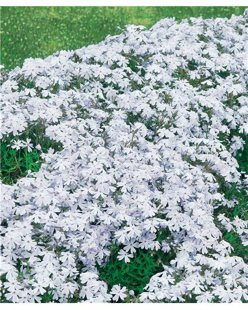 6 'Phlox mousse' blancs