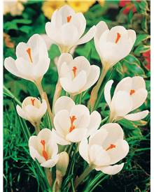 15 Crocus Jeanne d'Arc