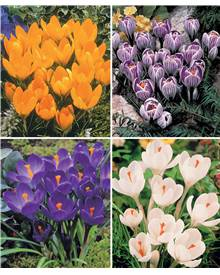 Coll. 60 crocus (15 Yellow mammouth, 15 Flower record, 15 J d'Arc,