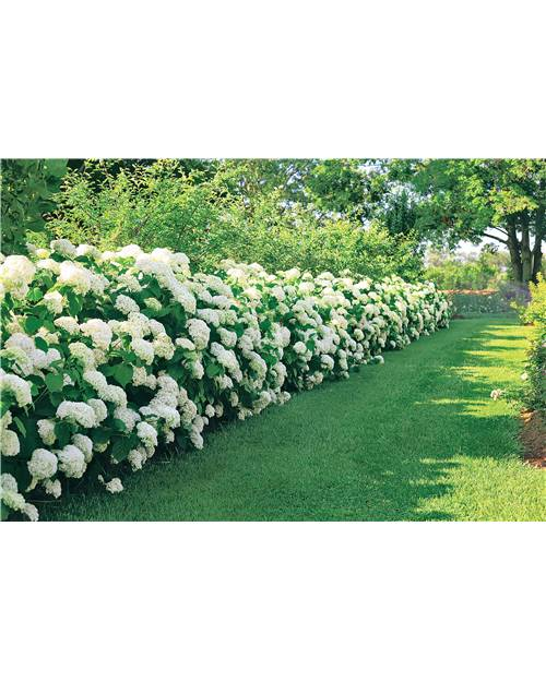 20 Hortensias 'Strong Annabelle'