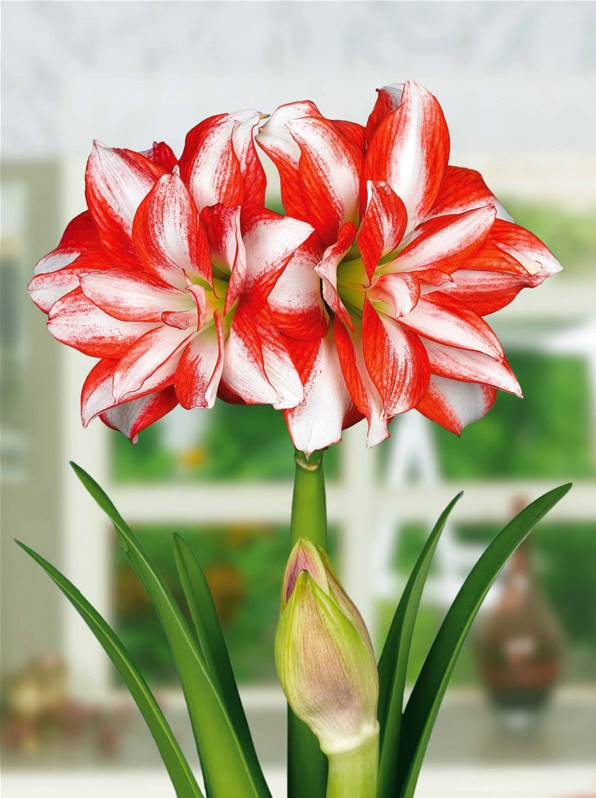 Collection 2 amaryllis willemse for Amaryllis culture