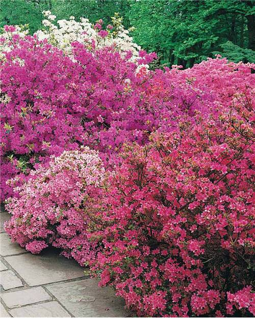 Collection de 3 Azalées du Japon (1 rouge + 1 rose + 1 violette)