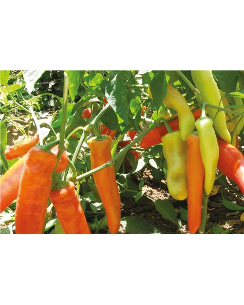 Piment 'Hungarian yellow hot wax' Bio