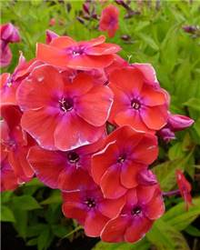 Phlox paniculé Red Flame