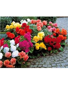 Collection de 24 Bégonias doubles (6 rouges + 6 jaunes + 6 orange + 6 roses)