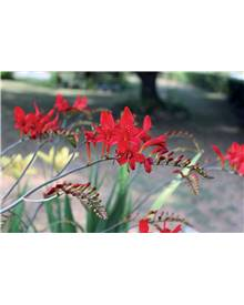 15 Crocosmias rouges