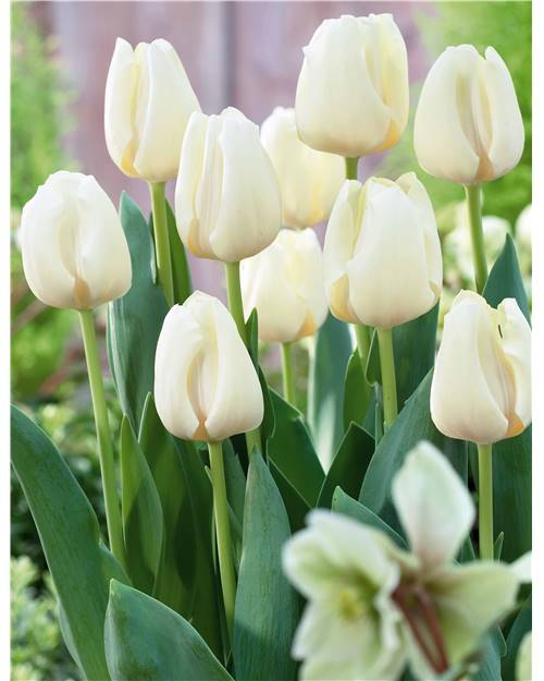 5 Tulipes Triomphe 'Cheers'
