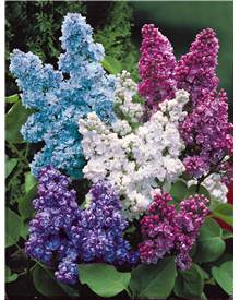Collection de 4 lilas doubles (1 bleu +1 rouge + 1 lilas + 1 blanc) 40/60 cm