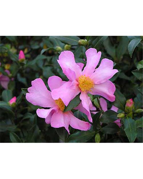 CAMELLIA sasanqua New dawn rose