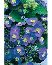 Hortensia 'Bluebery Cheesecake'