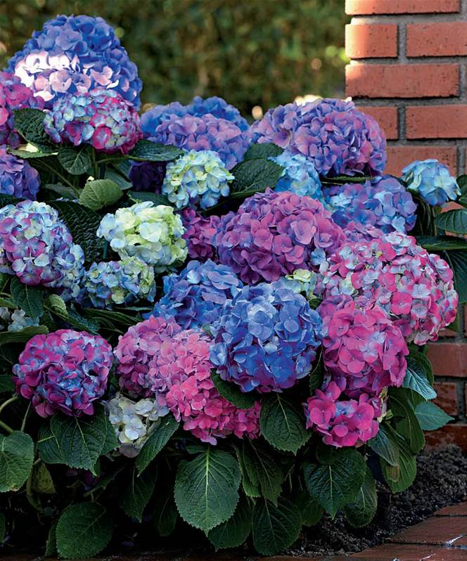 hortensia hydrangea l a dreamin arbuste fleuri jardin pot. Black Bedroom Furniture Sets. Home Design Ideas