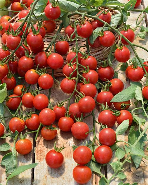 3 Plants Tomate Cerise Rouge 'Supersweet 100'