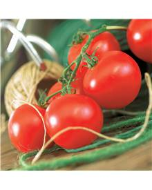 Collection 9 Plants Tomates Rondes (Pyros F1, Supersteak, Premio F1)