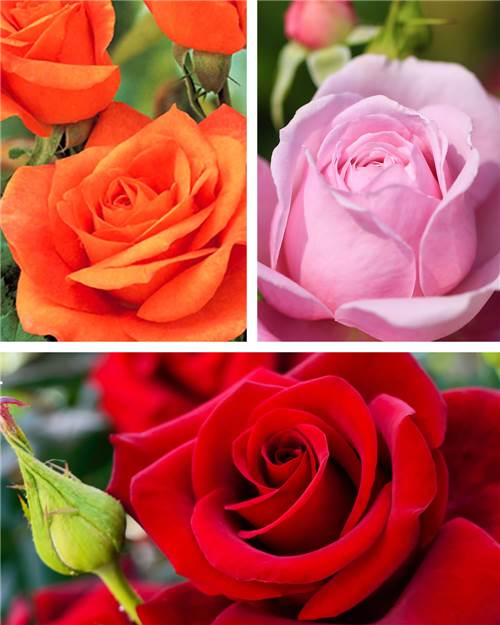Cadeau rosier orange +rose+ rouge