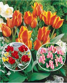 Collection de 3x10 tulipes multiflores