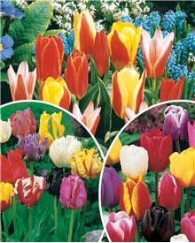 Collection 3 mois de tulipes - 60 bulbes
