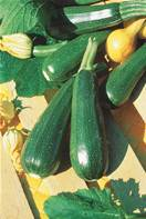5 plants de Courgette Suha