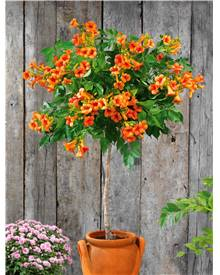 Bignone 'Indian Summer'® sur tige