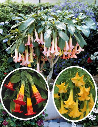 Collection 3 brugmansias (1 rouge et or+ 1 jaune + 1 Exotic pink)