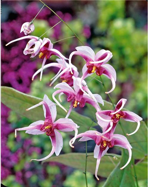 Epimedium Madame Butterfly