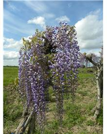 Wisteria floribunda Royal Purple