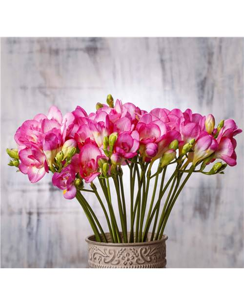 55 Freesias simples roses