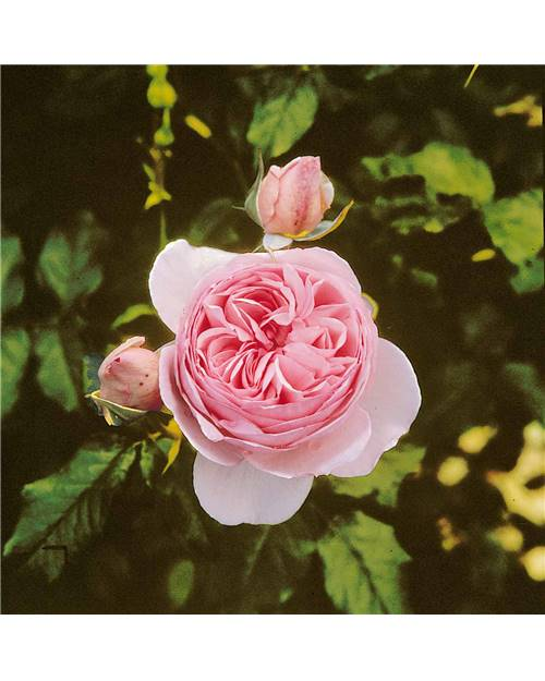 Rosier anglais 'Heritage'® rose tendre