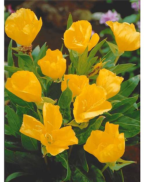3 oenoth res grandes fleurs willemse for Willemse fleurs