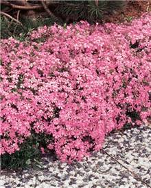 3 Phlox mousse rose pâle