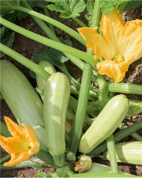 3 Plants Courgette' Lorea'