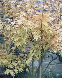 Erable Acer palmatum 'Orange dream' 50L