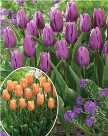 Collection de 20 tulipes triomphe (Bellville , Blue Beauty)