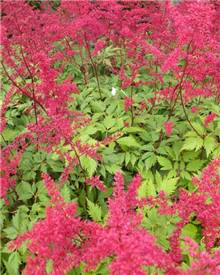 Astilbe d'Arends Spinell