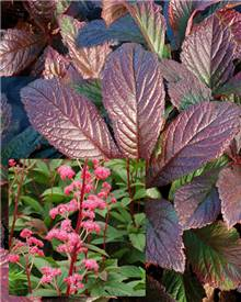 Rodgersia pourpre Bronze Peacock