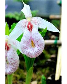 Orchidée : Cypripedium formosanum