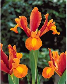 Collection 40 Iris de Hollande