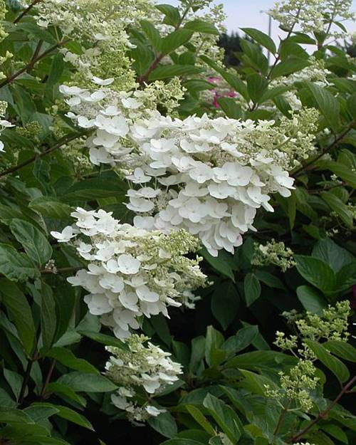 Hortensia paniculé October Bride