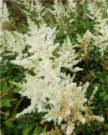 Astilbe d'Arends Diamant